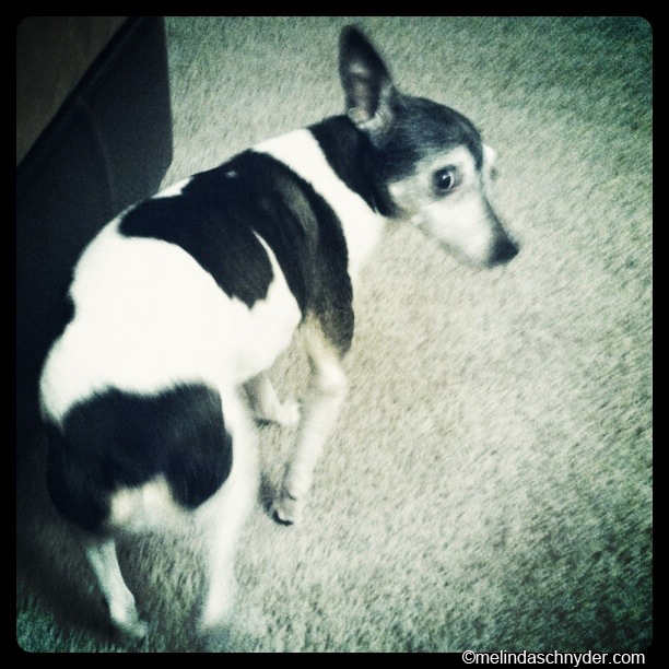 Our dog Astro the rat terrier