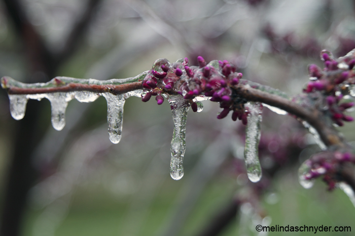 wichita kansas spring weather means ice on the budding trees