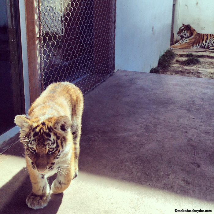 Four-month-old Amur tiger Natasha, with her mom Talali in the background at Wichita's Sedgwick County Zoo.
