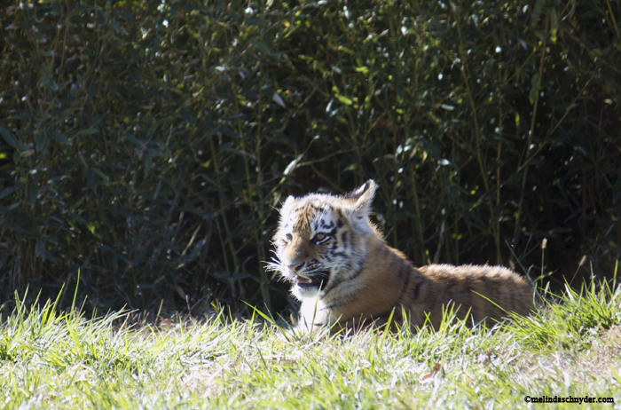 Tsar, the male Amur tiger cub, stayed toward the back of the exhibit on the day we were visiting Tiger Trek at Sedgwick County Zoo.